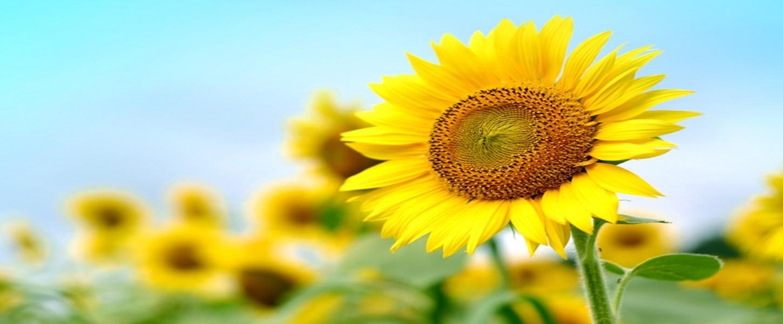別邸向日葵